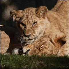 (2250) Bioparc Valncia (QuimG) Tags: naturaleza macro nature golden natura olympus leones specialtouch quimg quimgranell joaquimgranell afcastell obresdart bioparcvalncia instantsidetalls