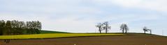 """Le colza, les arbres, le ciel (Brigitte ... """"Tatie Clic"""") Tags: panorama silhouette jaune culture arbres agriculture paysage campagne avril printemps champ panoramique bosquet colza aquitaine lotetgaronne albret campagnefranaise francesudouest 2016041914"""