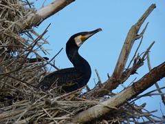 here I am  explored 20-04-2015 (Roel Oortwijn) Tags: holland bird lumix dunes nederland panasonic cormorant vogel kennemerduinen aalscholver explored inexplore fz38