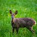 Doe (female deer)