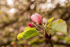 Bokeh and Blossoms (Back Road Photography (Kevin W. Jerrell)) Tags: petals bokeh naturalbeauty prettyinpink appleblossoms nikond60 backroadphotography