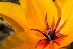 Nuance d'orange (StephanExposE) Tags: orange paris france flower macro nature fleur canon garden jardin 100mm tulip campagne iledefrance parc vincennes tulipe 600d macrophotographie parcfloraldeparis 100mmf28lmacroisusm stephanexpose