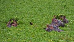 Hippopotamus' (little_duckie) Tags: africa elephant zebra giraffe hippopotamus hyena zambia bigfive southluangwa southluangwanationalpark
