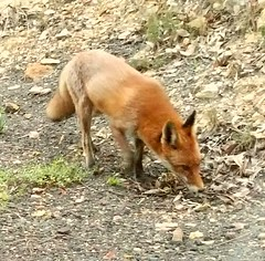 Had a furry visitor on our property this morning- a foxy friend :) #fox #visitor #wildlife #nature #unexpected (maypldigitalart) Tags: nature wildlife fox visitor unexpected