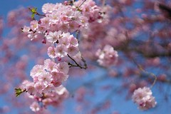 Pink blossoms in a baby-blue sky (Claudia G. Kukulka) Tags: pink blue sky cherry spring blossom himmel cherryblossoms blau blte kirsch frhling kirschblten