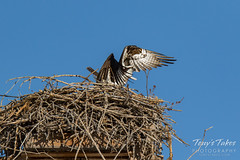 Osprey returns from Home Depot sequence - 17 of 27