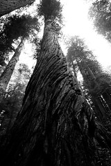 Twisted Trunk (Truong Quan) Tags: redwoods national park redwoodsnationalpark california hiking forest norcal