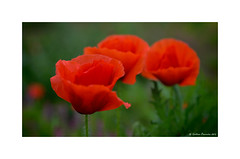 Gossiping (g.femenias) Tags: red flower macro green bokeh petra poppy poppies mallorca