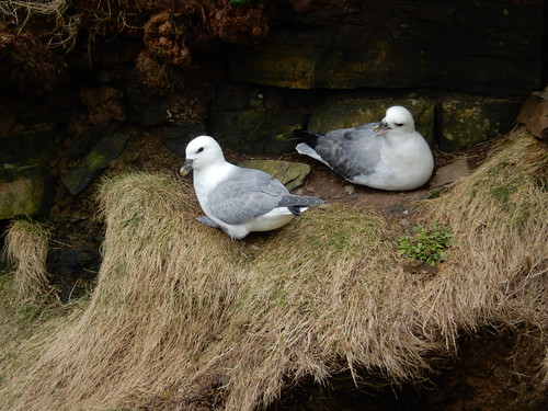 Two fulmars, 2016 Mar 19 -- photo 4
