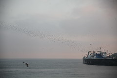 IMG_5637 (baskill) Tags: sea birds brighton front murmuration flocking starings
