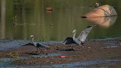 Little Blue Heron (stephaniepluscht) Tags: blue heron mobile gardens creek botanical little alabama mile twelve 2016 twelvemile