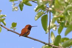 Rufous Hummingbird (brian.bemmels) Tags: hummingbird bc richmond iona rufous rufoushummingbird ionapark