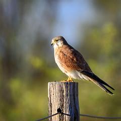 a nankeen kestrel (Fat Burns  (gone bush)) Tags: bird fauna hawk raptor kestrel australianbird nankeenkestrel australianfauna falcocenchroides nikond750 sigma150600mmf563dgoshsmsports sigmateleconvtc1401nik
