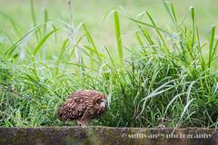 IMG_3754 (sullivan) Tags: nature animal taiwan  jinshan shortearedowl asioflammeus   ef300mmf4lisusm   canoneos7d     newtaipeicity      adobephotoshoplightroom5 suhaocheng sullivan sullivan