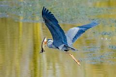 Grey Heron Flying Off With Pike (phat5toe) Tags: fish nature water birds nikon wildlife feathers pike penningtonflash avian wigan flashes greyheron wader greenheart d7000 sigma150500