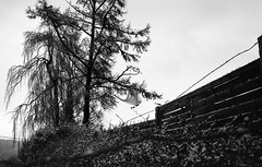 Something's in the tree (Leica Minilux) (stefankamert) Tags: blackandwhite bw tree film analog blackwhite scan negative xp2 epson sw ilford v550 summarit schwarzweis stefankamert
