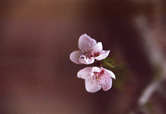 in bloom (Julie Anne Noying) Tags: nature 35mm spring nikon ant blossoms filmphotography nikonf55 f55 analoguephotography
