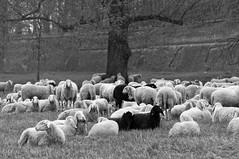 Ferrara-Pecore nel sottomura (Mazzaq-Mauro Mazzacurati) Tags: italy italia sheep ferrara pecore gregge