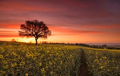 Spring Glory (Captain Nikon) Tags: sunrise dawn derbyshire crops lonetree springtime rapeseed trentvalley stantonbydale nikond7000