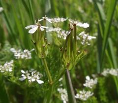 Scandix pecten-veneris (Shepherd's Needle) - flowers & fruits, Gamlingay, Cambs, 30.4.16 (respect_all_plants) Tags: wildflowers cambridgeshire cambs gamlingay shepherdsneedle scandixpectenveneris