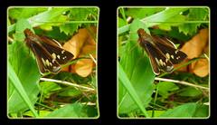 Female Zabulon Skipper, Poanes Zabulon - Parallel 3D (DarkOnus) Tags: macro closeup female butterfly insect lumix stereogram 3d pennsylvania skipper panasonic stereo parallel stereography buckscounty poanes zabulon dmcfz35 darkonus