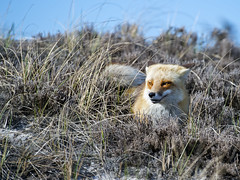 Red Fox (Brian E Kushner) Tags: park new red beach nature grass animals mammal island berkeley nikon state wildlife dunes nj fox jersey f28 70200mm redfox vulpesvulpes nikor islandbeachstatepark d4s nikon70200mmf28 bkushner nikond4s brianekushner