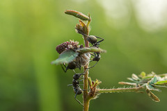 Family breakfast (Just_hobby) Tags: nature closeup insect outdoor ant extensiontube a6000 sel50f18 26mmextension