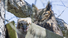 I see you have a screw loose (jrlarson67) Tags: wild brown bird eye nature beautiful beauty animal fly wings eyes nikon day looking nocturnal outdoor wildlife great feathers feather owl wise prey gho predator creature avian feathered bubo horned talons owlet virginianus d7100