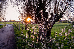 Solitary sunset (neus_oliver) Tags: flowers light sunset sun tree nature field germany evening countryside solitude natural dusk path walk meditation stroll mnster quietness