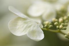 Ephemeral beauty (shimmeringenergy) Tags: softness dreamy hydrangea ephemeral