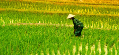 Picking Rice (Stuck in Customs) Tags: november portrait bali plants color colour green field yellow horizontal indonesia photography photo asia day rice stuck farm candid sony harvest daily farmer southeast hdr tutorial trey customs 2015 ratcliff a7r p2016 treyratcliff stuckincustomscom