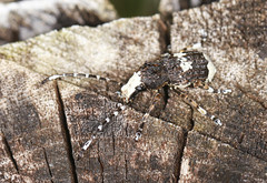 Fungus Wevil - Platystomos albinus (Prank F) Tags: uk macro nature closeup insect wildlife beetle fungus rutland ketton weevil wildlifetrust lrwt platystomosalbinus kettonquarry
