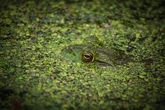 bullfrog (Black Hound) Tags: minolta sony frog bullfrog a500 springtonmanor