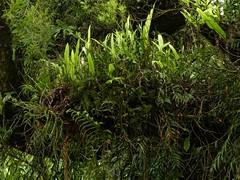 Epiphytes at Kotorepi (New Zealand Wild) Tags: trees newzealand wild plants tree nature photography moss flora orchids wilderness ferns botany wonderland westcoast aotearoa mossy nationalgeographic epiphytes perching microsorum ninemilecreek newzealandnature earina newzealandnaturephotography wildnewzealand newzealandgeographic stevereekie newzealandwild kotorepi