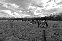 Wild Horses in black-and-white - Herd - 2016-013_Web (berni.radke) Tags: horse pony herd nordrheinwestfalen colt wildhorses foal fohlen croy herde dlmen feralhorses wildpferdebahn merfelderbruch merfeld przewalskipferd wildpferde dlmenerwildpferd equusferus dlmenerpferd dlmenpony herzogvoncroy wildhorsetrack