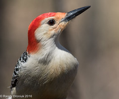I'm ready for my close-up Mr. Photographer (rdroniuk) Tags: birds woodpecker pics pic redbelliedwoodpecker woodpeckers oiseaux smallbirds melanerpescarolinus passerines passereaux picventreroux