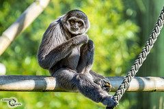 Silver Gibbon (Danijel Jovanovic Photography) Tags: nature animal munich zoo monkey minolta sony alpha tier gibbon affe 7rii