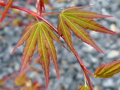 gegenstndig (Jrg Paul Kaspari) Tags: leaves garden leaf spring maple acer blatt bltter garten acerpalmatum trier frhling palmatum petrisberg ahorn austrieb fcherahorn
