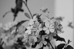plumbago (BPPrice) Tags: blackandwhite bw plant flower monochrome outdoor plumbago creativestyleclear