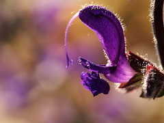 Salvia pratensis.. (quarzonero ...Aldo A...) Tags: flower macro nature purple bokeh viola coth salviapratensis coth5 sunrays5