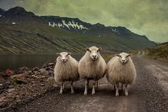 coneixent-nos (Kaobanga) Tags: iceland islandia sheep textures looks concept conceptual fiord texturas sland oveja islande fiordo conocer pigments islanda miradas ovejas concepto concepte ovella ovelles toknow seyisfjrur mirades islndia pigmentos conocindonos kaobanga canon28300 knoweachother canon5dmkii canon5dmk2 canon5dmarkii conixer mjifjorur coneixentnos