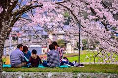 (DSC_3118) (nans0410(busy)) Tags: family japan cherry outdoors kyoto blossom   sakura kansai   kameoka   kinkiarea