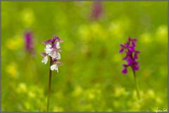 bi-color (Luciano Silei - sky7) Tags: orchid macro bokeh friuli orchidea wildorchid greenwingedorchid trioplan meyergorlitz anacamptismorio orchisbouffon eos7d orchideminore kleineknabenkraut