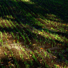 April 22 | Earth Day (vertblu) Tags: shadow brown green field lines shadows ground vert diagonal soil grün agriculture earthday sprouting furrows newgrowth linien hellgrün 500x500 wintercrop verdancy wintercereals vertblu