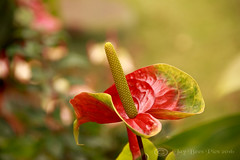 Red & Green Ripple! (Jay Bees Pics) Tags: red flower macro green portugal bokeh ngc npc waxy madeira funchal 2016 doublecolour athurium magicunicornverybest