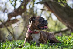 .. (Tams Szarka) Tags: dog pet nature animal forest puppy outdoor boxerdog