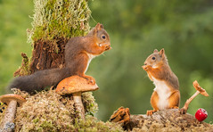 talking secrets (Geert Weggen) Tags: autumn light red summer  plant cute fall nature mushroom animal closeup mammal happy rodent moss spring squirrel funny bright young ground toadstool pup geert perennial weggen ilobsterit hardeko