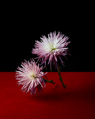 Fuji Mums (dustin forest halleck) Tags: flowers stilllife plants art nature canon chrysanthemum naturemorte strobelight studiophotography momentomori fujimums canon5ds