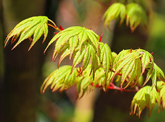 Acer leaves: 28.4.16. (VolVal) Tags: tree leaves garden acer dorset april bournemouth boscombe