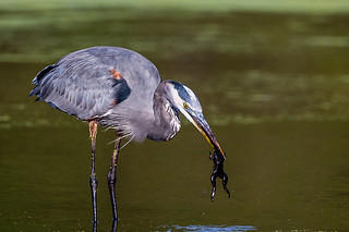 Great Blue Heron Caught a Frog